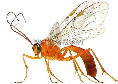 sickle wasp