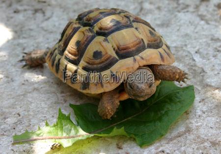 joven tortuga griega