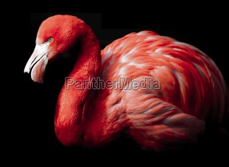 africa pico plumaje picos rojo rosa
