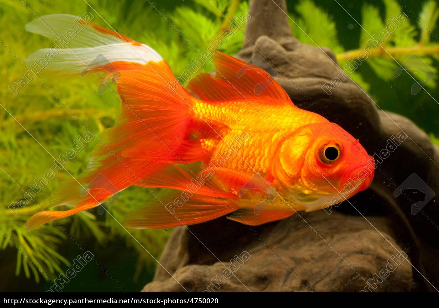 carpa de peces de colores cyprinidae stockphoto