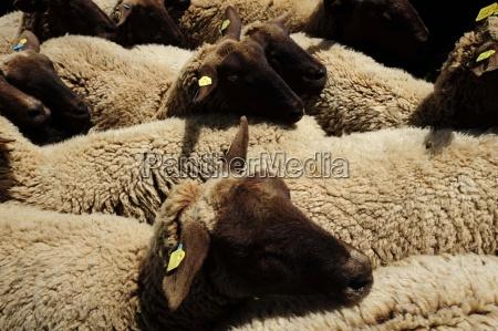 ovejasanimales de granjaanimales de granjala ganaderiala