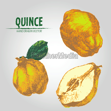 digital vector detailed color quince hand