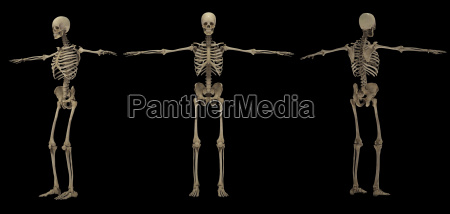 3d rendering of human skeletal system