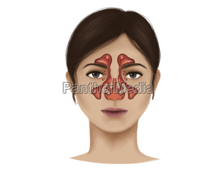 anatomy of nasal sinuses