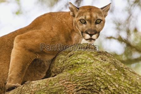 primer plano animal mamifero gato eeuu
