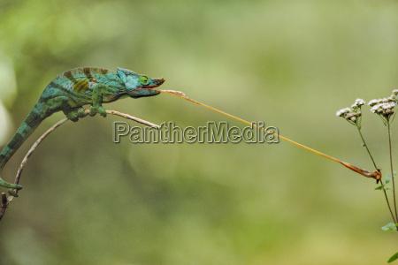 comida animal insecto reptil africa lagarto