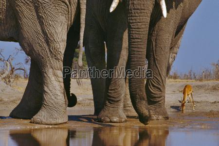 enorme animal mamifero africa elefante grande