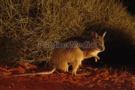 desierto animal mamifero noche australia horizontalmente